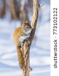 Small photo of american red squirrel in winter