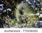 porcupine in wilderness.... | Shutterstock . vector #773106202