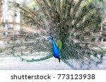 Beautiful Peacock Bird In Park...