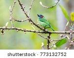 beautiful blue eared barbet ...   Shutterstock . vector #773132752
