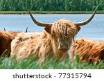 cattle of wild cows  for biological nature management - stock photo
