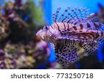 Pterois volitans. red lionfish  ...