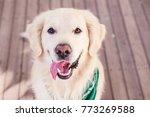 beautiful dog golden retriever...   Shutterstock . vector #773269588