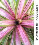Small photo of Pink Aechmea fasciata in garden thailand