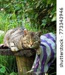 Stock photo beautiful curious scottish wildcat felis silvestris grampia laying on bench in green grass three 773343946