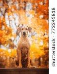 autumn photo of rhodesian...   Shutterstock . vector #773345818
