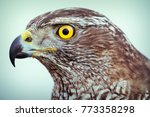 peregrine falcon close up | Shutterstock . vector #773358298