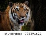 the bengal tiger  panthera... | Shutterstock . vector #773391622