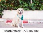 beautiful dog golden retriever...   Shutterstock . vector #773402482
