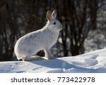 Stock photo snowshoe hare or varying hare lepus americanus in winter in canada 773422978