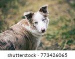 australian shepherd dog | Shutterstock . vector #773426065