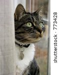 Stock photo grey tabby cat sitting in window behind curtain 773428