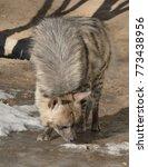striped hyena  hyaena hyaena  | Shutterstock . vector #773438956