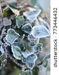 Ivy Leaves Covered In Frost