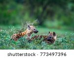 spotted hyena in kruger... | Shutterstock . vector #773497396