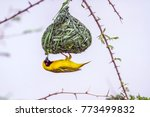 Southern Masked Weaver In...