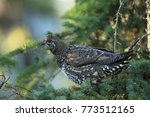 Small photo of A male Spruce Grouse or Canada Grouse (Falcipennis canadensis), Alaska, United States