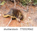 one porcupine in the... | Shutterstock . vector #773519062