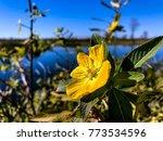 pretty yellow marsh marigold in ... | Shutterstock . vector #773534596