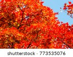 beautiful red maple leaves in... | Shutterstock . vector #773535076
