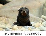 New Zealand Sea Lion ...