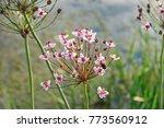 flowering rush or grass rush ... | Shutterstock . vector #773560912