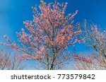 cherry blossom blooming on... | Shutterstock . vector #773579842