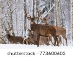 Herd Of Red Deer Stag In Winte...