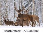Herd Of Red Deer Stag In Winte...
