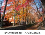 red and yellow tree beside the...   Shutterstock . vector #773603536