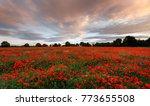 A Sea Of Poppy's In A Field...