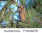 A Long Eared Owl Rests In The...