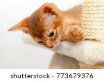 Stock photo playing a small abyssinian kitten lies on the system for sharpening claws close up 773679376