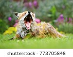Red Fox Lying And Yawning On...