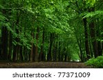 Road In Beech Forest In The...