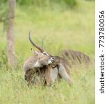 "Small photo of Closeup of Waterbuck (scientific name: Kobus ellipsiprymnus, or ""Kuru"" in Swaheli) in the Serengeti park, Tanzania"