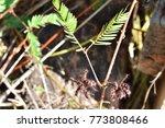 mimosa invisa  giant sensitive...   Shutterstock . vector #773808466