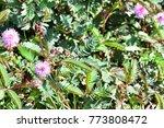 mimosa invisa  giant sensitive...   Shutterstock . vector #773808472