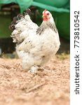 Giant Chicken Brahma Standing...