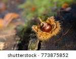 chestnut in nature on stump | Shutterstock . vector #773875852