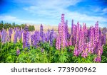 view of lupin flower field near ... | Shutterstock . vector #773900962