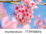 cherry blossom blooming under... | Shutterstock . vector #773958856