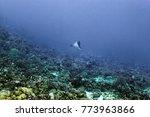 Small photo of The spotted eagle ray, Aetobatus narinari