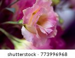 beautiful eustoma flowers ... | Shutterstock . vector #773996968