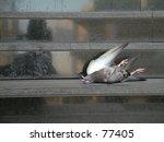 Dead Pigeon.