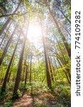 sunrise in a tall tree pine...   Shutterstock . vector #774109282
