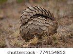 pangolin rolled up   Shutterstock . vector #774154852