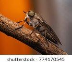 Close Up Horsefly  Tabanidae...