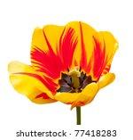 Beautiful Red Yellow Tulips...