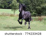 Friesian Horse Is Running On A...